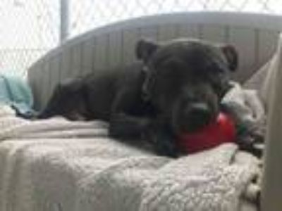 Adopt Emma a American Staffordshire Terrier