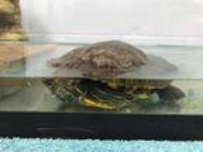 Adopt LIONEL a Turtle - Other / Mixed reptile, amphibian, and/or fish in Ames