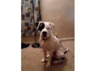 Adopt Patch a Black - with White American Pit Bull Terrier / Mixed dog in