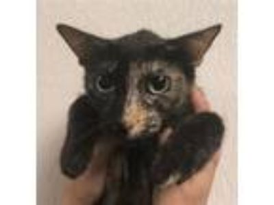 Adopt Molley a Domestic Short Hair