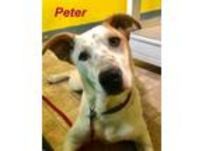 Adopt Peter a Beagle / Labrador Retriever / Mixed dog in Stover, MO (23881412)