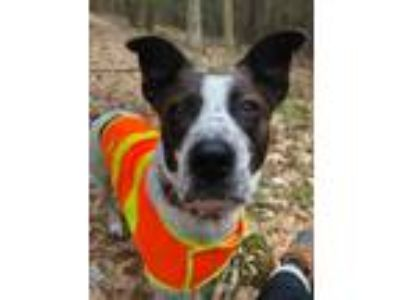 Adopt Maverick a White - with Black Cattle Dog / Mixed dog in West Cornwall
