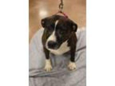 Adopt Athena a Pit Bull Terrier, Boxer