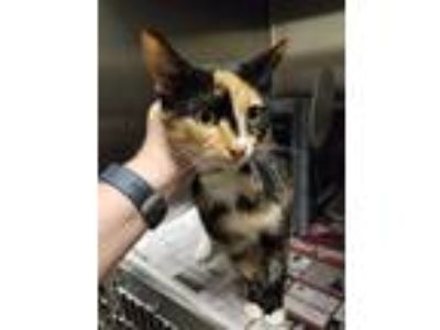 Adopt Belle a Calico or Dilute Calico Domestic Shorthair (short coat) cat in
