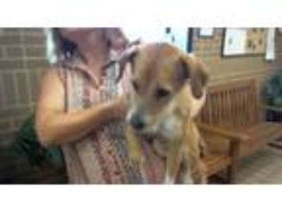 Adopt Avonlea a Jack Russell Terrier, Mixed Breed