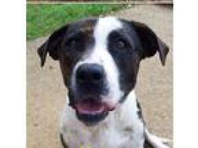 Adopt Honey Bunny a Brindle - with White Boxer / Pit Bull Terrier / Mixed dog in