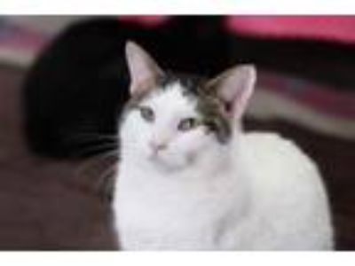 Adopt Moxley a Domestic Short Hair