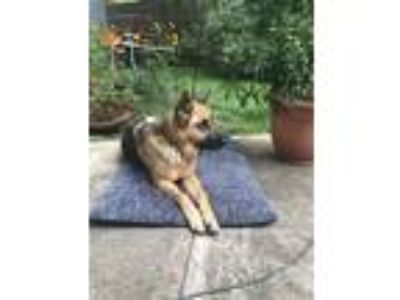 Adopt Bella a Black - with Tan, Yellow or Fawn German Shepherd Dog dog in Round
