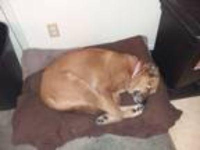 Adopt Zodiac (Zoey) a Tan/Yellow/Fawn - with White St. Bernard / Rottweiler /