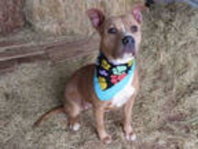 Adopt SHAYLA a Brown/Chocolate American Pit Bull Terrier / Mixed dog in Oklahoma