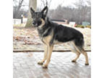 Adopt Hunter a German Shepherd Dog