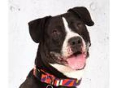 Adopt Jordan a Black - with White Pit Bull Terrier / Mixed dog in Briarcliff