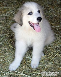 Great Pyrenees Pups! Take $100 off