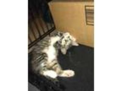 Adopt Charity a Gray or Blue Domestic Shorthair / Domestic Shorthair / Mixed cat