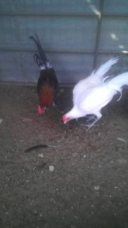 phoenix ((rare))  young males  9 left