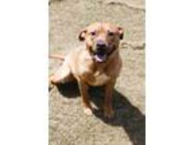 Adopt Big Boy Robinson a Brown/Chocolate American Pit Bull Terrier dog in