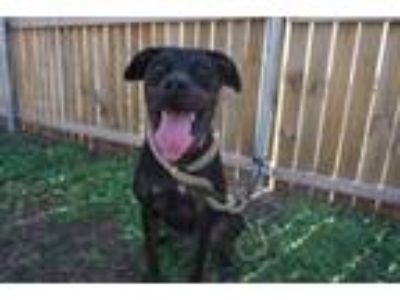 Adopt *Oreo a Australian Cattle Dog / Blue Heeler, Plott Hound