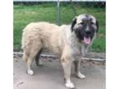 Adopt Keira a White Anatolian Shepherd / Great Pyrenees / Mixed dog in
