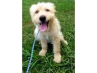 Adopt Arya a Golden Retriever, Poodle