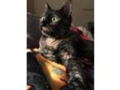 Adopt Hallie a Tortoiseshell American Shorthair cat in Dallas, TX (24876421)