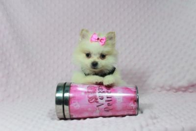 Gorgeous, Show Quality Teacup Pomeranian Puppies In Las Vegas - Best Christmas Gift EVER