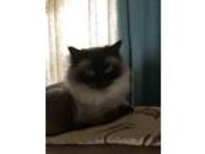 Adopt summer a Black & White or Tuxedo Ragdoll cat in Sicklerville