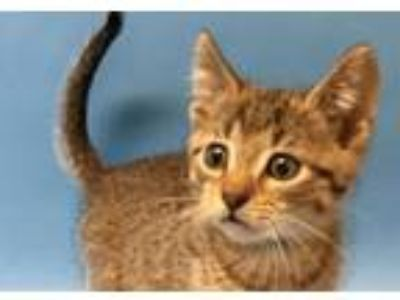 Adopt Giggle McDimples a Domestic Short Hair