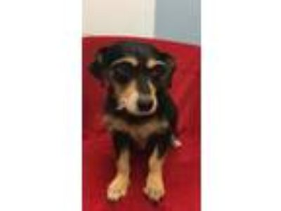 Adopt Electra a Black - with Tan, Yellow or Fawn Dachshund / Mixed dog in