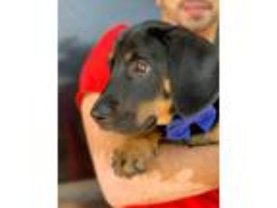 Adopt COME MEET Wednesday a Black - with Tan, Yellow or Fawn Basset Hound /
