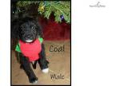 Christmas Labradoodle Puppy looking for a home