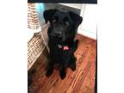 Adopt Mandy is so sweet! a Flat-Coated Retriever, Chow Chow