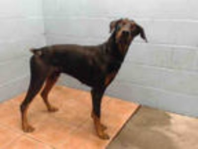 Adopt SHIRU a Black - with Brown, Red, Golden, Orange or Chestnut Doberman