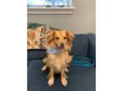 Adopt Dixie a Red/Golden/Orange/Chestnut Mixed Breed (Small) / Mixed dog in San