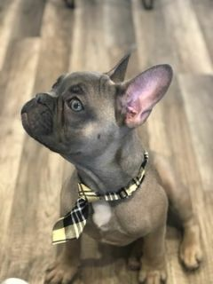 French Bulldog PUPPY FOR SALE ADN-92161 - LILAC FRENCHIE