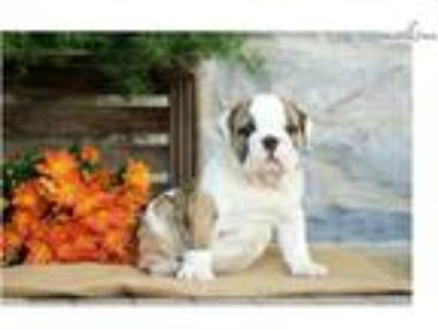Mammoth - English Bulldog