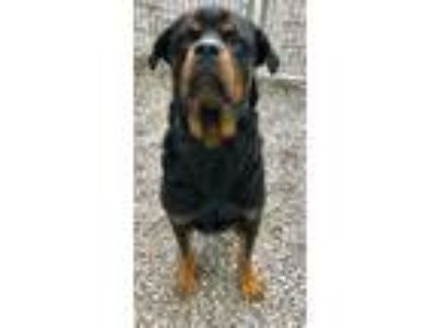 Adopt Crue a Black - with Tan, Yellow or Fawn Rottweiler / Mixed dog in Sparta