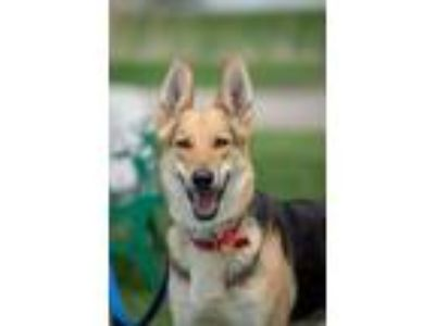 Adopt Kaia a German Shepherd Dog