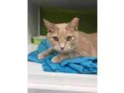 Adopt Asio a Tabby, Domestic Short Hair