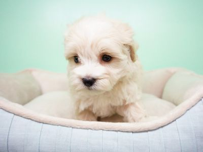 Maltipoo PUPPY FOR SALE ADN-104357 - Maltipoo Female Dion