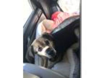 Adopt Leia a Black - with Tan, Yellow or Fawn German Shepherd Dog / Mixed dog in