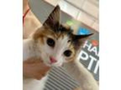 Adopt Groot a White Domestic Longhair / Domestic Shorthair / Mixed cat in