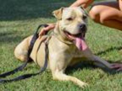 Adopt Zeppo a Tan/Yellow/Fawn Labrador Retriever / Pit Bull Terrier / Mixed dog