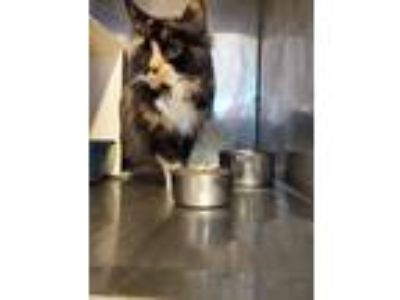 Adopt Phoebe a Calico or Dilute Calico Domestic Longhair (long coat) cat in