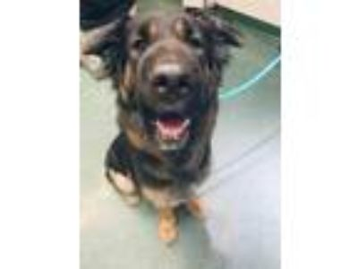 Adopt Elisha a Black Shepherd (Unknown Type) / Shar Pei / Mixed dog in