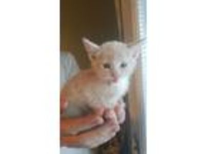 Adopt 7/17/19 DSH Tan Kitten Male a Domestic Short Hair
