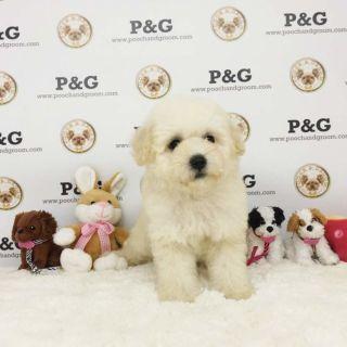 Maltese-Poodle (Toy) Mix PUPPY FOR SALE ADN-91993 - MALTIPOO ORANGE FEMALE