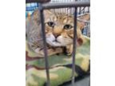 Adopt Pewee a Domestic Shorthair / Mixed (short coat) cat in Mocksville
