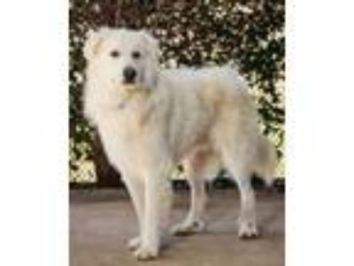 Adopt Finn a White Great Pyrenees / Mixed dog in The Colony, TX (25604454)