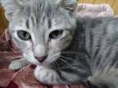 Adopt Asher Pants a Domestic Shorthair / Mixed (short coat) cat in Logan