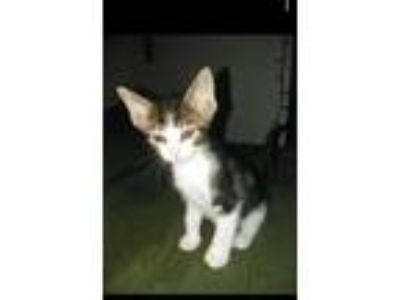 Adopt Moose a Domestic Shorthair / Mixed (short coat) cat in Fort Worth